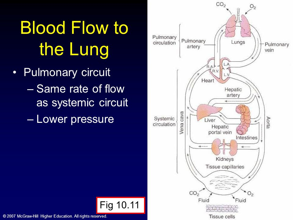 Blood Flow to the Lung Pulmonary circuit