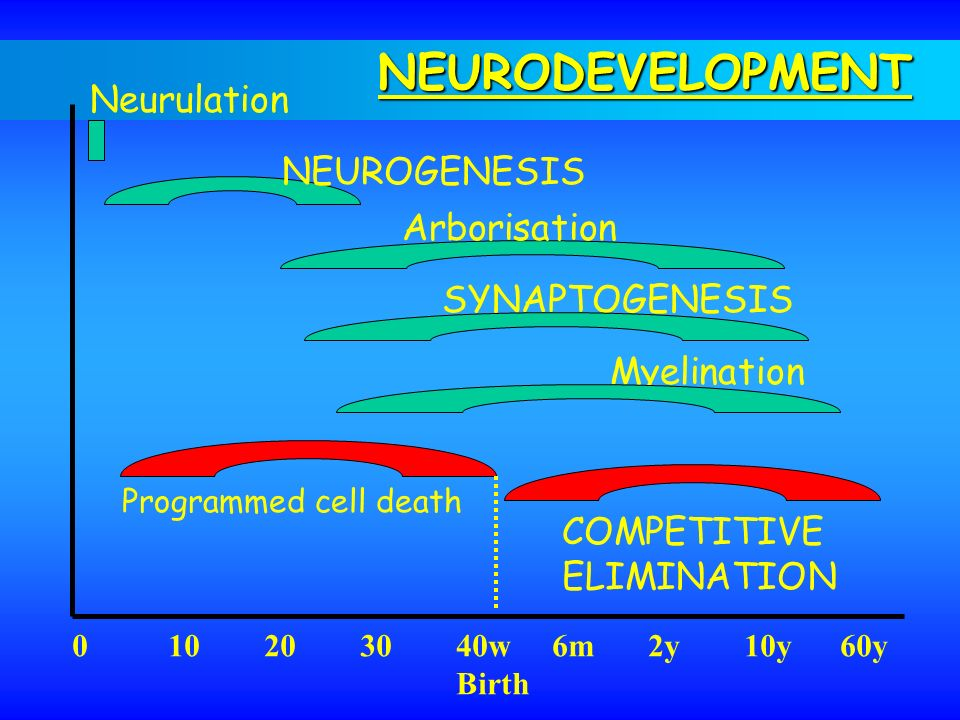 NEURODEVELOPMENT Neurulation NEUROGENESIS Arborisation SYNAPTOGENESIS