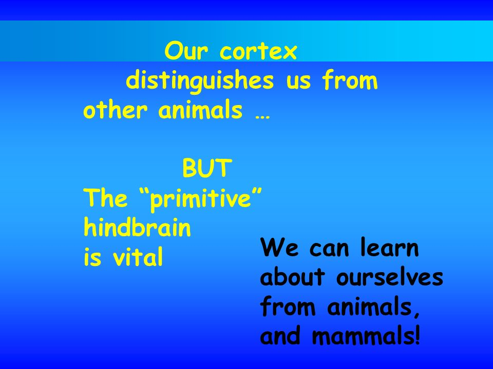 Our cortex distinguishes us from. other animals … BUT. The primitive hindbrain. is vital. We can learn.