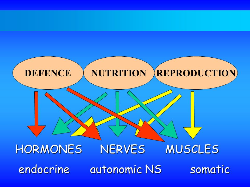 HORMONES NERVES MUSCLES endocrine autonomic NS somatic