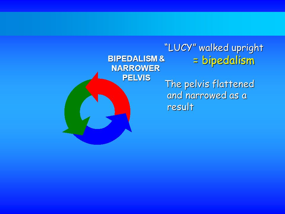 LUCY walked upright = bipedalism The pelvis flattened