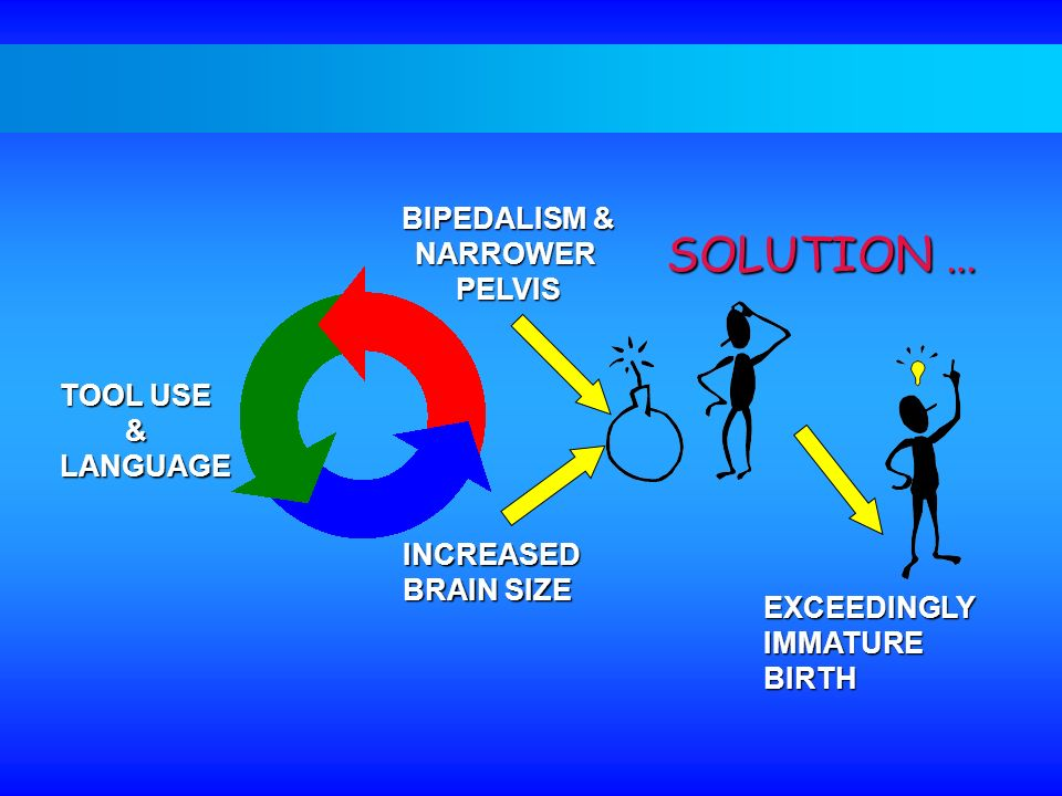 SOLUTION … BIPEDALISM & NARROWER PELVIS TOOL USE & LANGUAGE INCREASED