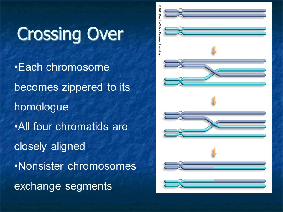 Crossing Over Each chromosome becomes zippered to its homologue