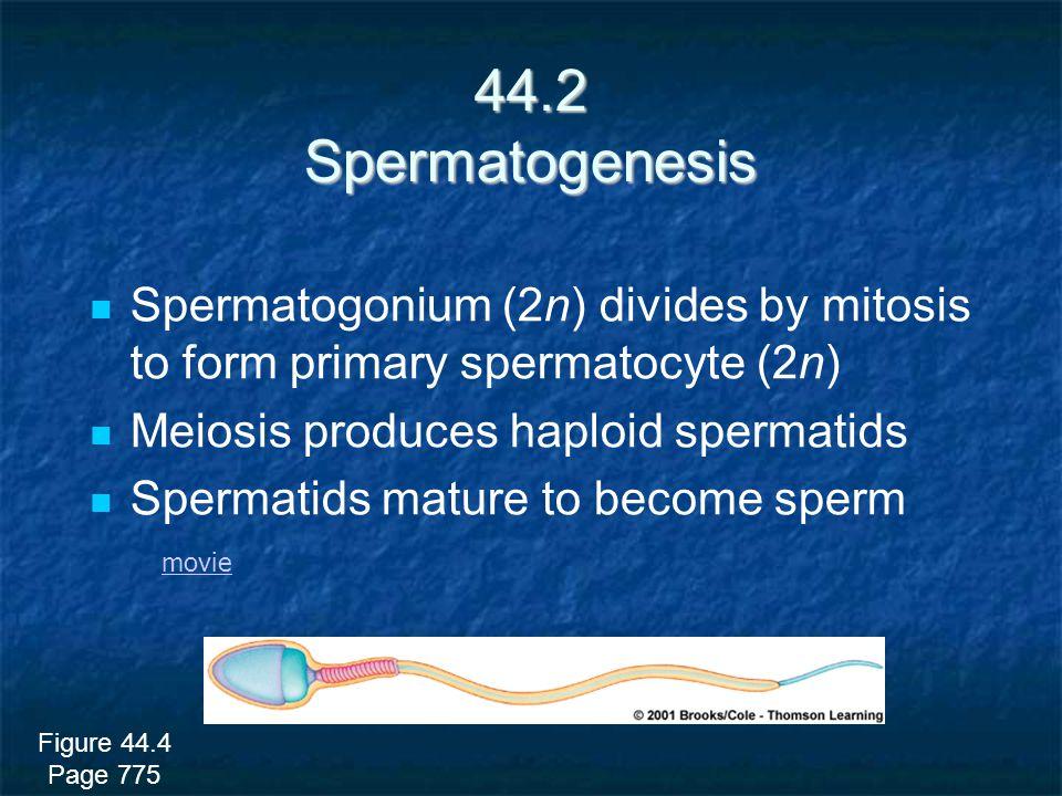 44.2 Spermatogenesis Spermatogonium (2n) divides by mitosis to form primary spermatocyte (2n) Meiosis produces haploid spermatids.