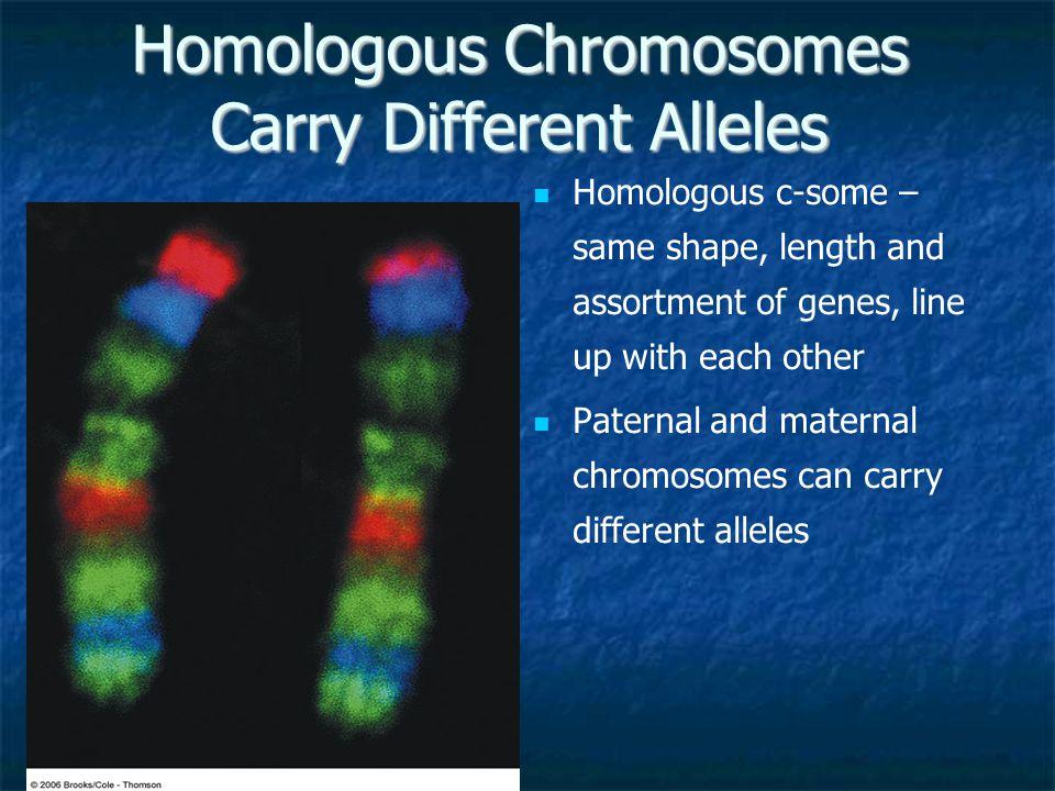 Homologous Chromosomes Carry Different Alleles