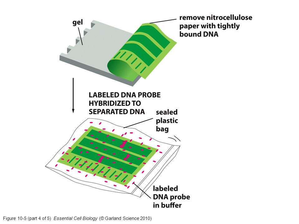 Figure 10-5 (part 4 of 5) Essential Cell Biology (© Garland Science 2010)