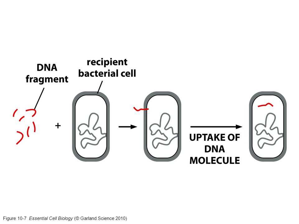 Figure 10-7 Essential Cell Biology (© Garland Science 2010)