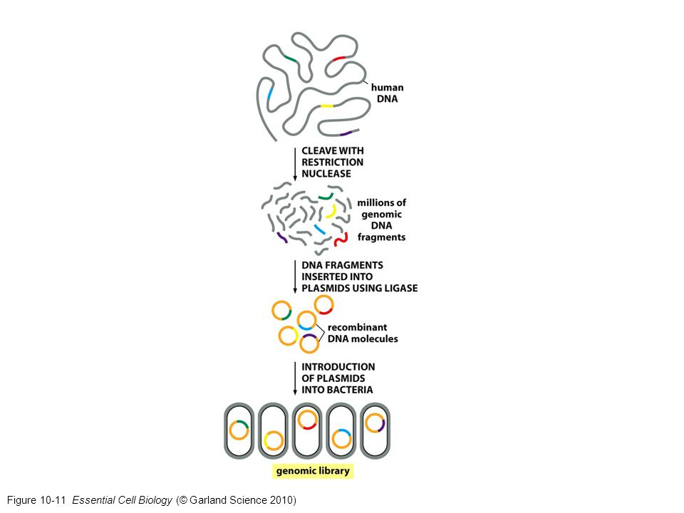 Figure 10-11 Essential Cell Biology (© Garland Science 2010)