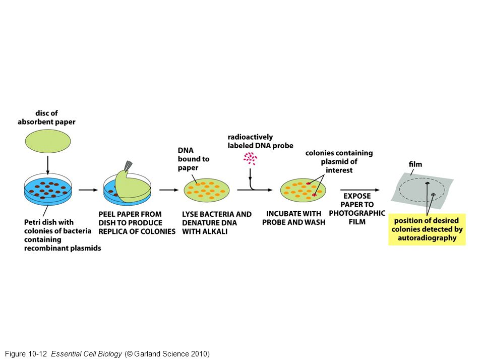 Figure 10-12 Essential Cell Biology (© Garland Science 2010)