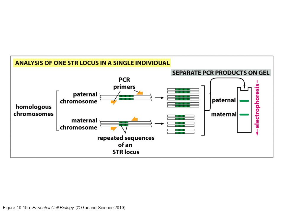 Figure 10-19a Essential Cell Biology (© Garland Science 2010)