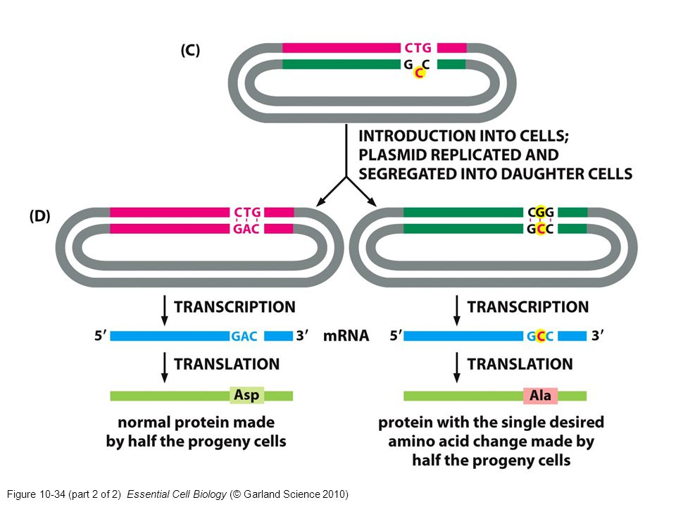 Figure (part 2 of 2) Essential Cell Biology (© Garland Science 2010)