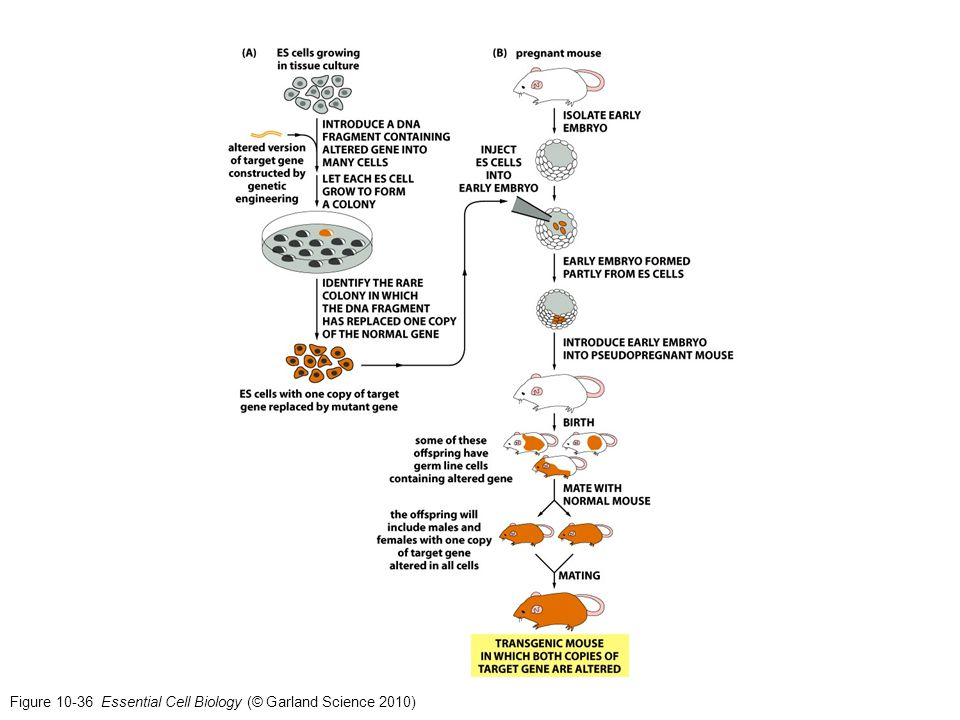 Figure 10-36 Essential Cell Biology (© Garland Science 2010)