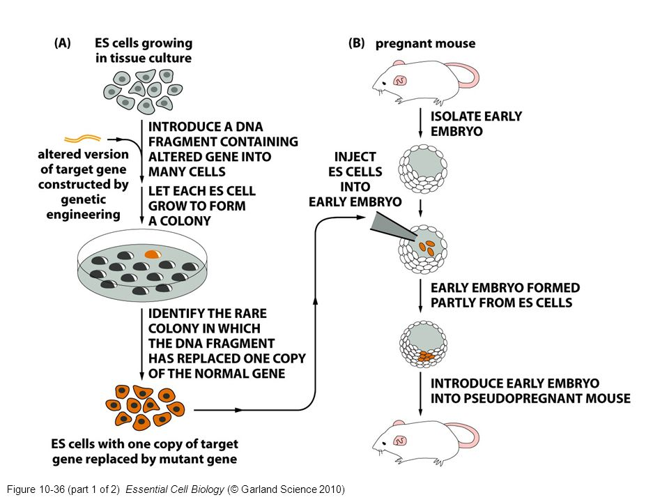 Figure 10-36 (part 1 of 2) Essential Cell Biology (© Garland Science 2010)