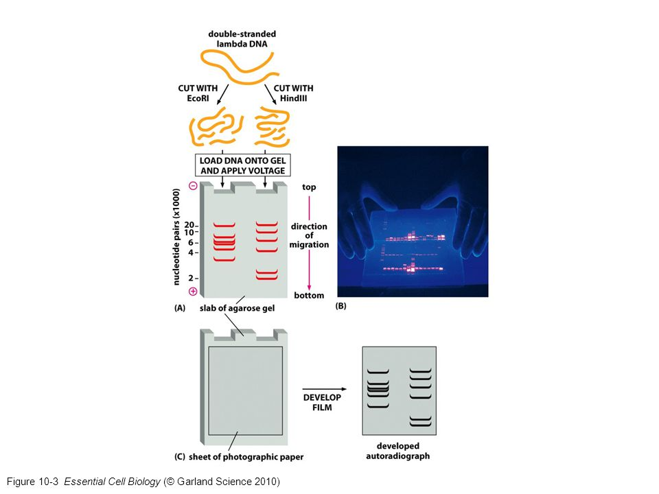 Figure 10-3 Essential Cell Biology (© Garland Science 2010)