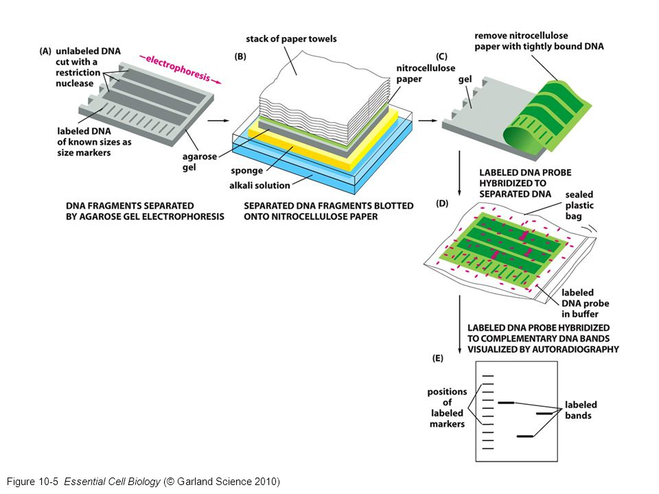 Figure 10-5 Essential Cell Biology (© Garland Science 2010)