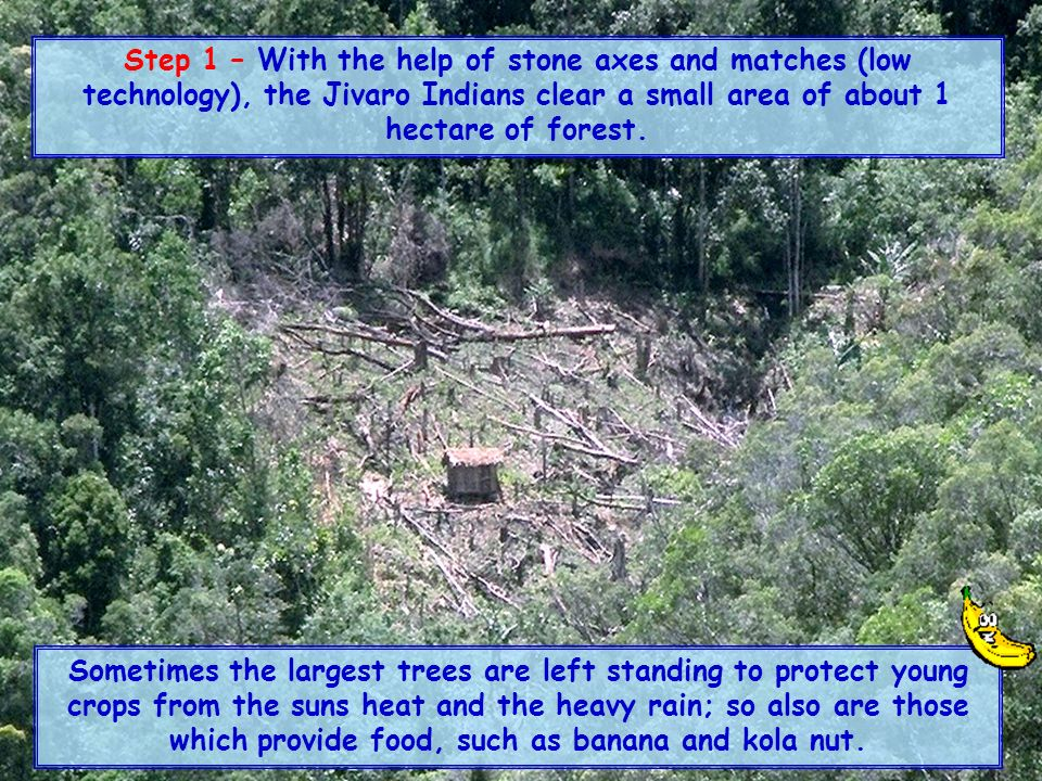 Step 1 – With the help of stone axes and matches (low technology), the Jivaro Indians clear a small area of about 1 hectare of forest.