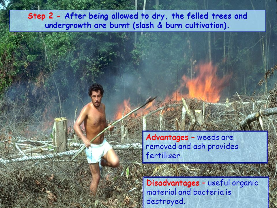 Step 2 - After being allowed to dry, the felled trees and undergrowth are burnt (slash & burn cultivation).