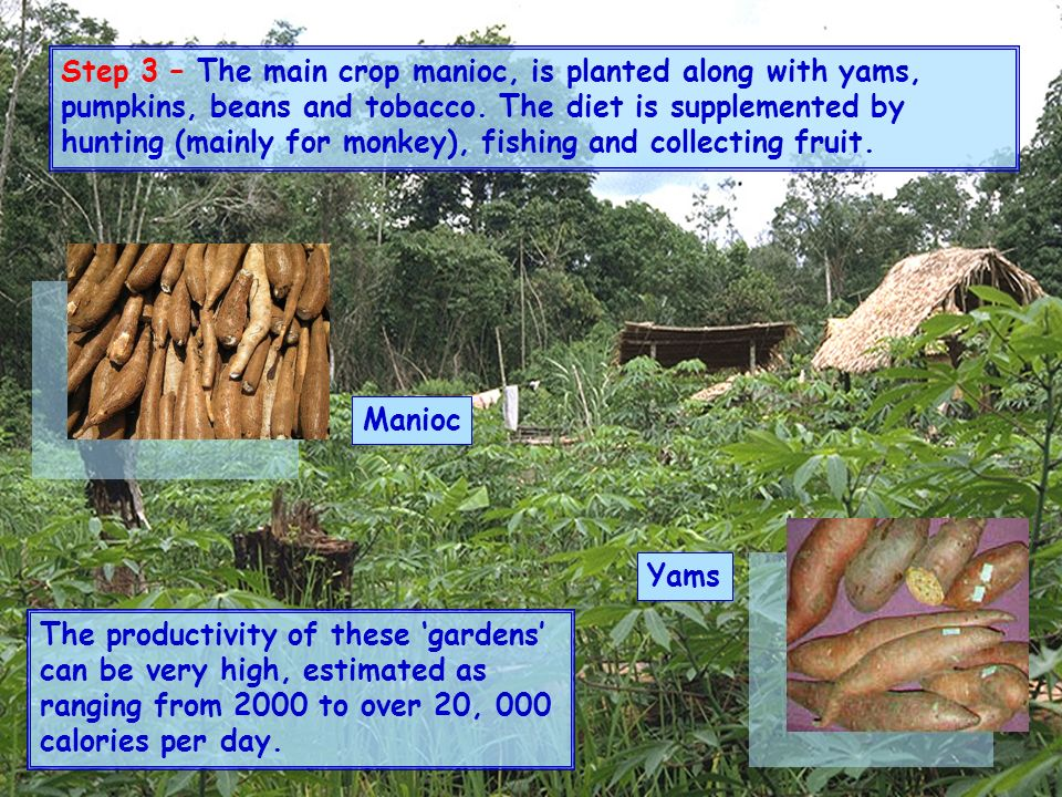 Step 3 – The main crop manioc, is planted along with yams, pumpkins, beans and tobacco. The diet is supplemented by hunting (mainly for monkey), fishing and collecting fruit.