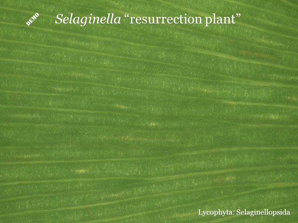 D Selaginella resurrection plant