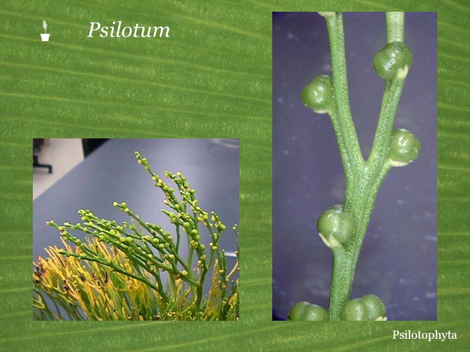 P Psilotum Psilotophyta