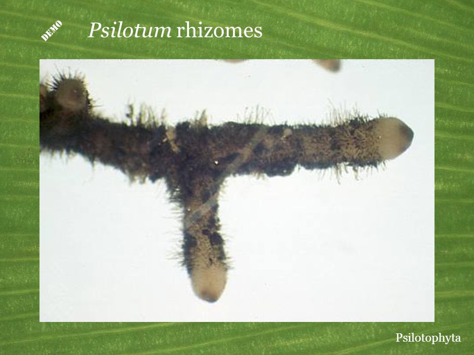 D Psilotum rhizomes Psilotophyta