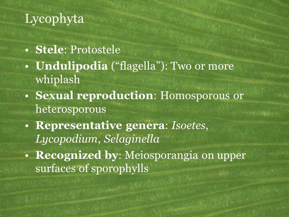 Lycophyta Stele: Protostele