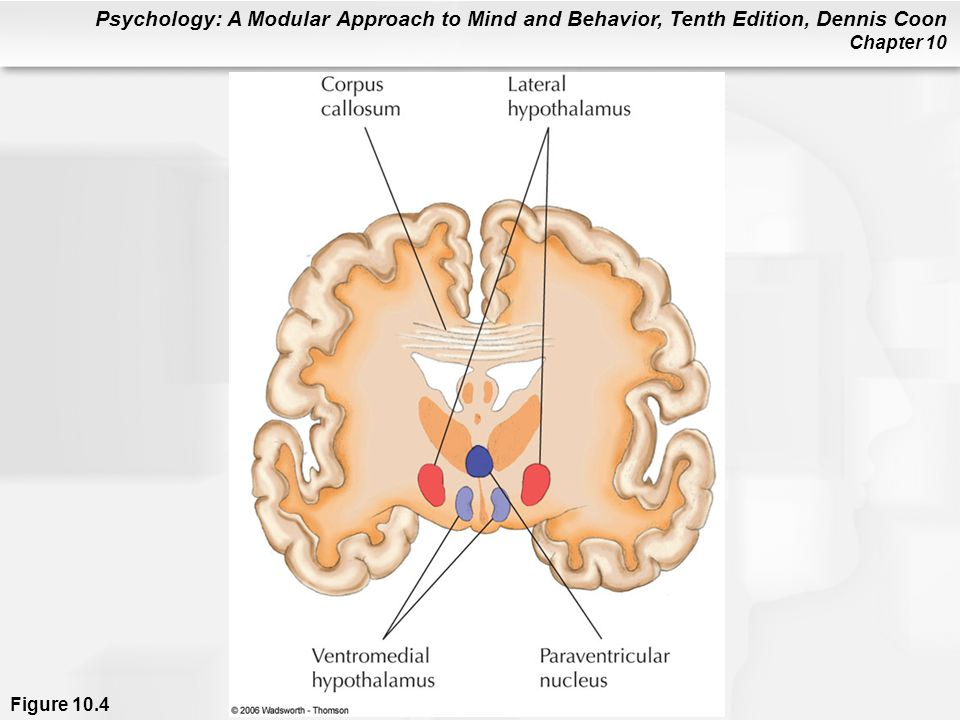 Figure 10.4 This is a cross section through the middle of the brain (viewed from the front of the brain). Indicated areas of the hypothalamus are associated with hunger and the regulation of body weight.