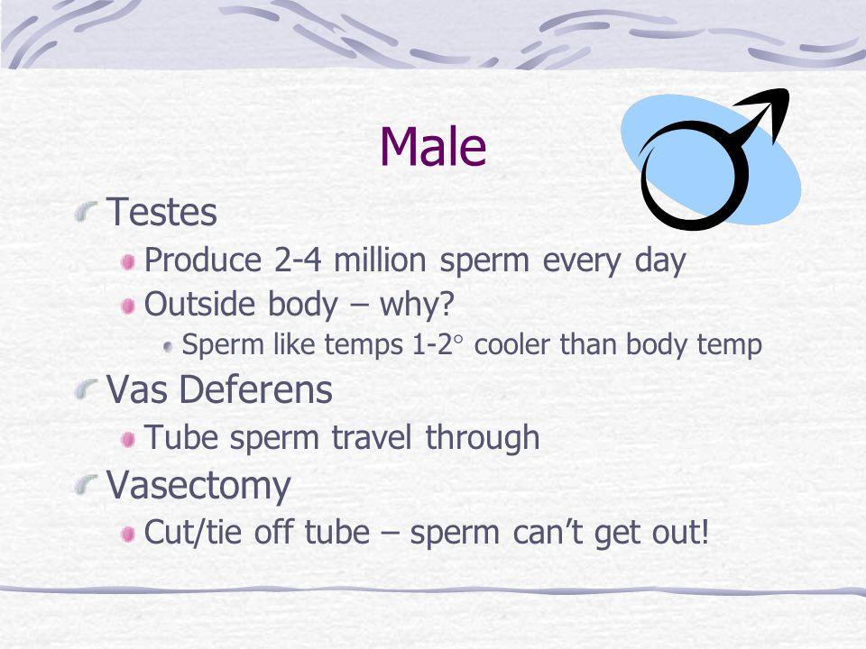 Male Testes Vas Deferens Vasectomy Produce 2-4 million sperm every day