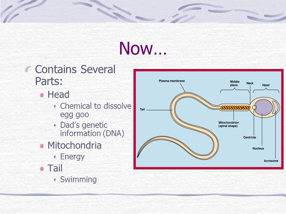 Now… Contains Several Parts: Head Mitochondria Tail