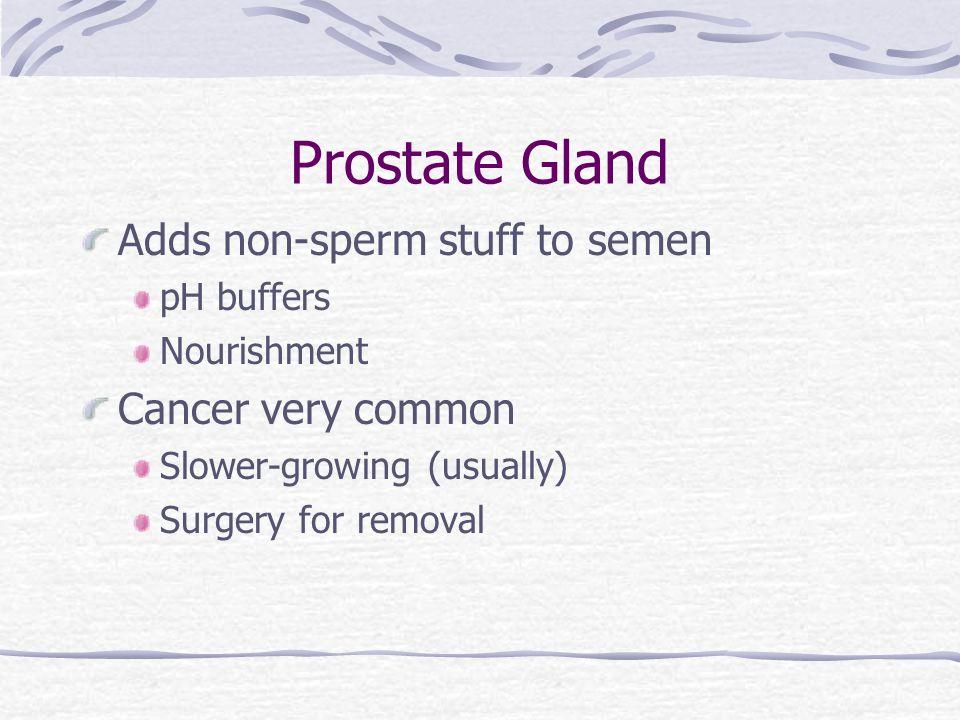 Prostate Gland Adds non-sperm stuff to semen Cancer very common