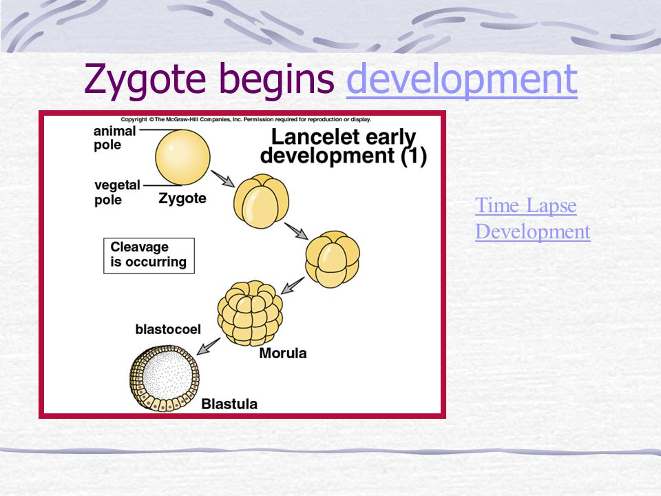 Zygote begins development