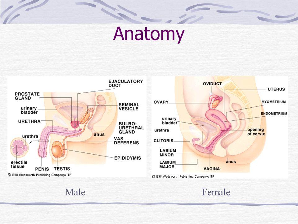 Anatomy Male Female