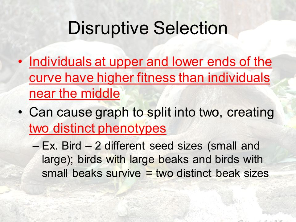 Disruptive Selection Individuals at upper and lower ends of the curve have higher fitness than individuals near the middle.