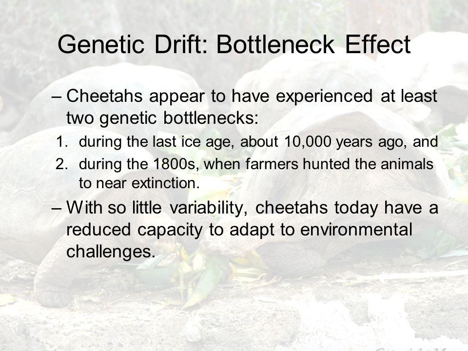 Genetic Drift: Bottleneck Effect