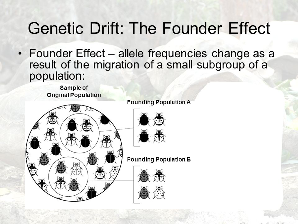 Genetic Drift: The Founder Effect