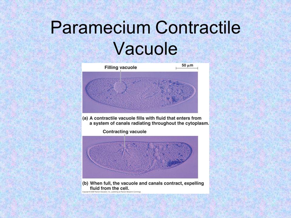 Paramecium Contractile Vacuole
