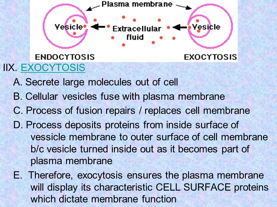 IIX. EXOCYTOSIS A. Secrete large molecules out of cell. B. Cellular vesicles fuse with plasma membrane.