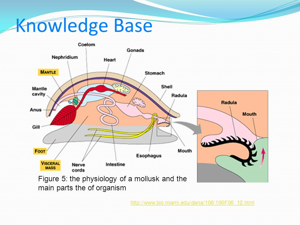 Knowledge Base Figure 5: the physiology of a mollusk and the main parts the of organism.