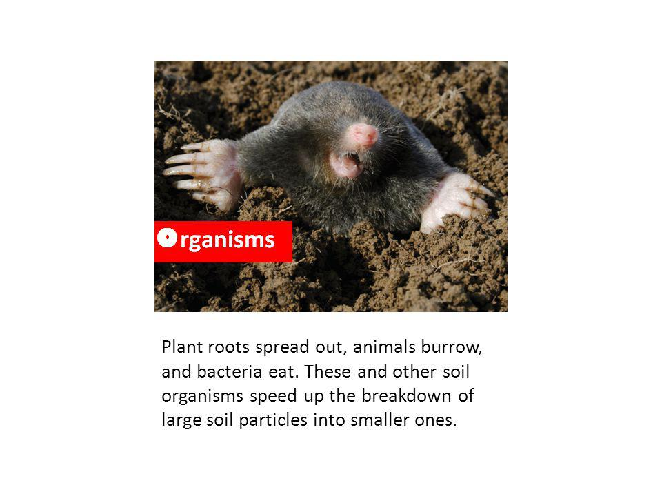 Organisms – roots give off CO2 and organic acids that break down minerals and other organic materials. Bacteria, fungi, and worms (decomposers) help to break down organic matter as well. Roots can physically break rocks to allow for water to enter and further weather the soil.