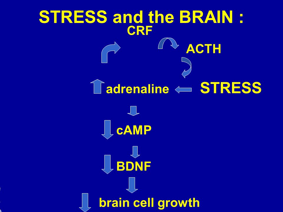 STRESS and the BRAIN : CRF ACTH adrenaline STRESS cAMP BDNF