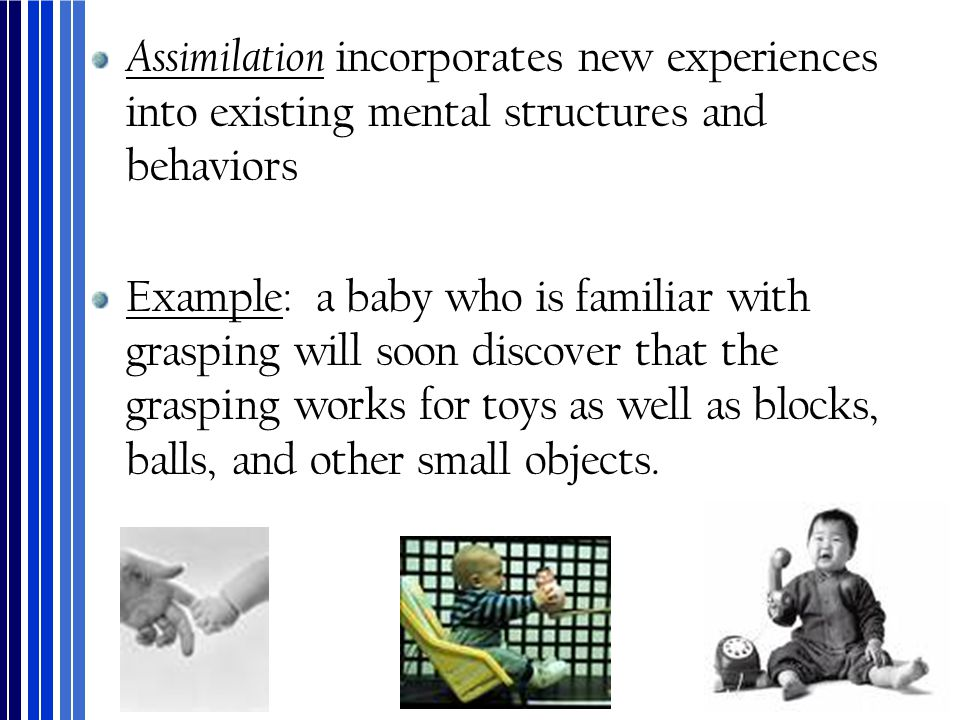 Assimilation incorporates new experiences into existing mental structures and behaviors