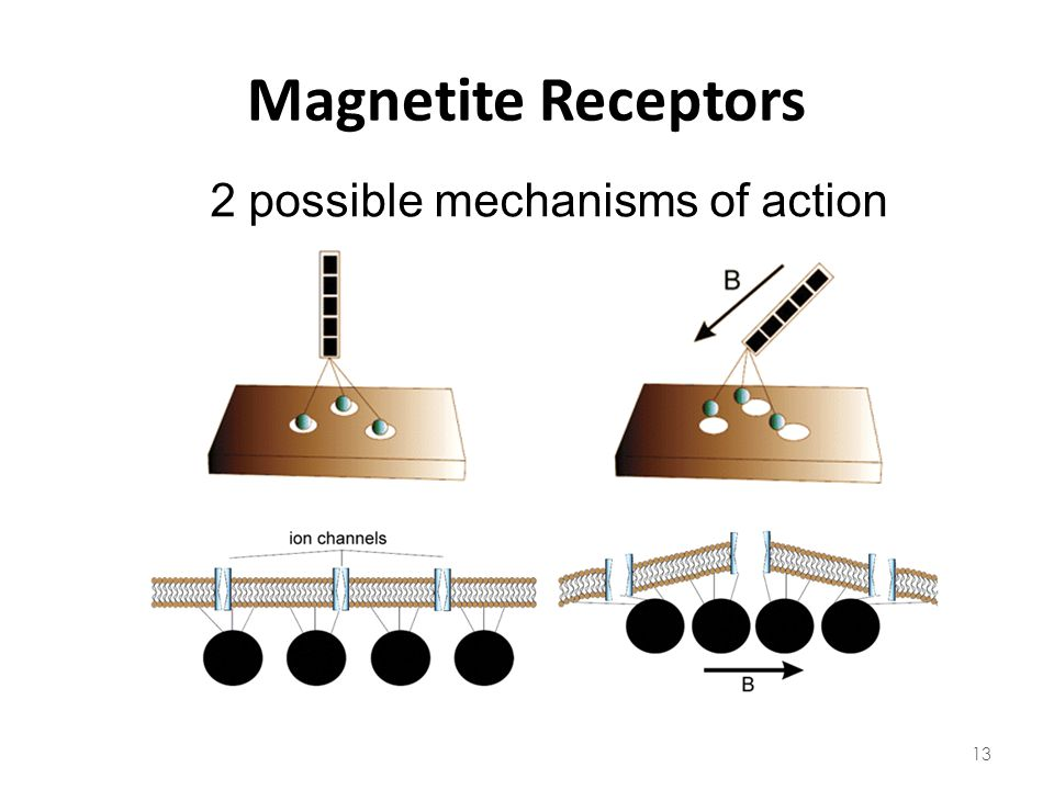 Magnetite Receptors 2 possible mechanisms of action