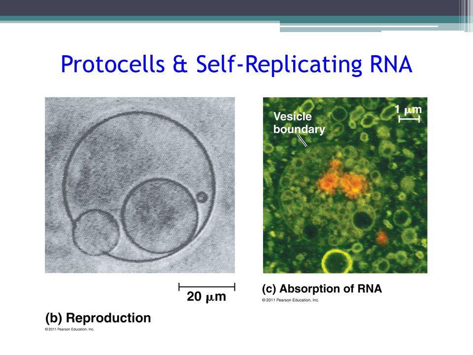Protocells & Self-Replicating RNA