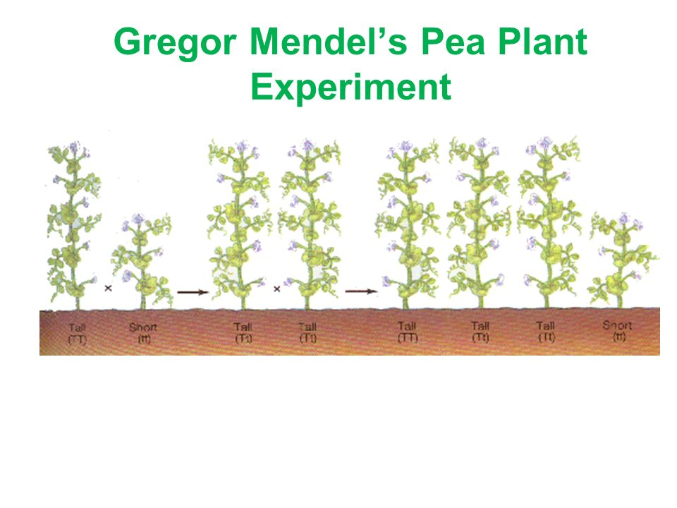 a look at the mendels experiments with pea plant Mendel's results for flower color mendel found the same results for all traits, but we'll look at flower color as an example when mendel bred purple-flowered peas (bb) with white-flowered peas (bb), every plant in the next generation had only purple flowers (bb).