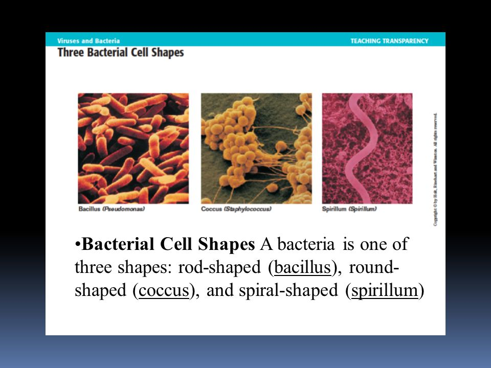 Bacterial Cell Shapes A bacteria is one of three shapes: rod-shaped (bacillus), round-shaped (coccus), and spiral-shaped (spirillum)