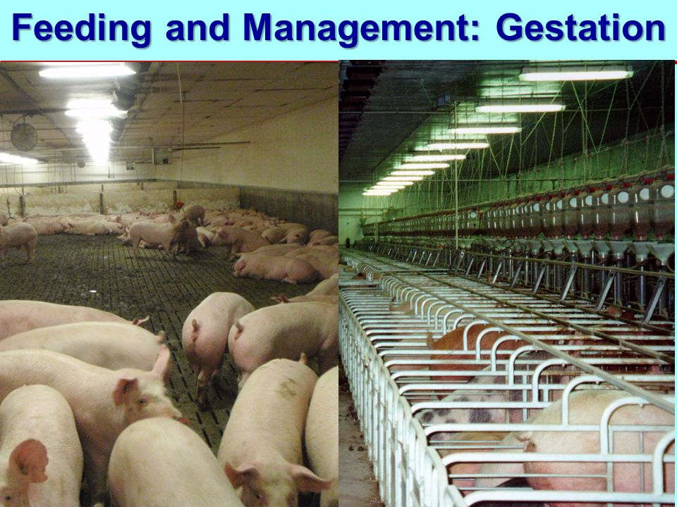 Feeding and Management: Gestation
