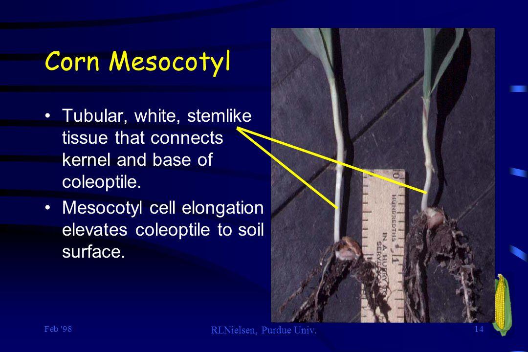 Corn Mesocotyl Tubular, white, stemlike tissue that connects kernel and base of coleoptile.