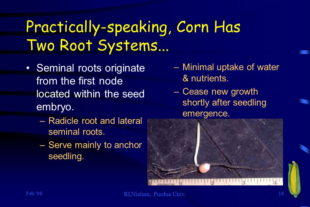 Practically-speaking, Corn Has Two Root Systems...