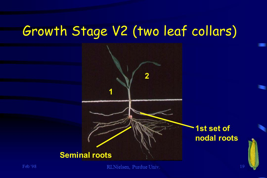 Growth Stage V2 (two leaf collars)