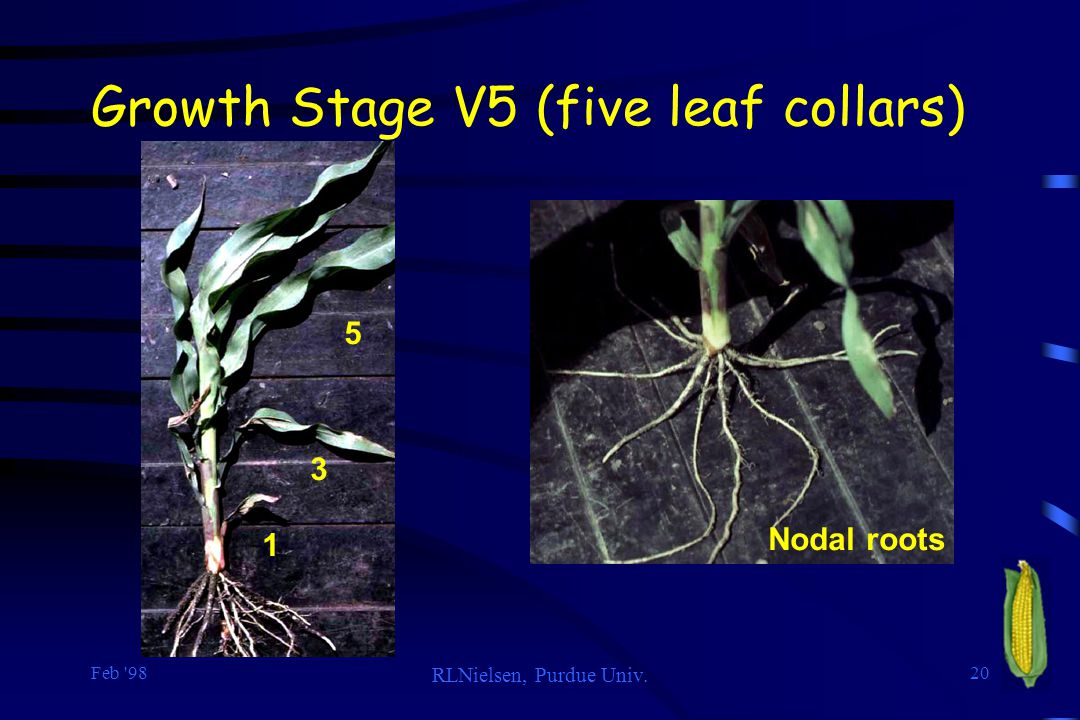 Growth Stage V5 (five leaf collars)
